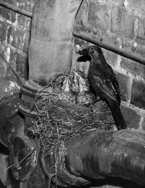 A Blackbird feeing her young in their nest on a drainpipe. Date: 1960s