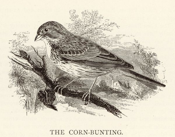 CORN BUNTING (Emberiza miliaria) Also known as the Bunting Lark or, less kindly, as the Common Bunting, which it isn't