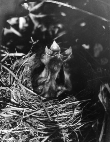 Young Hedge Sparrows in the nest. Date: 1960s