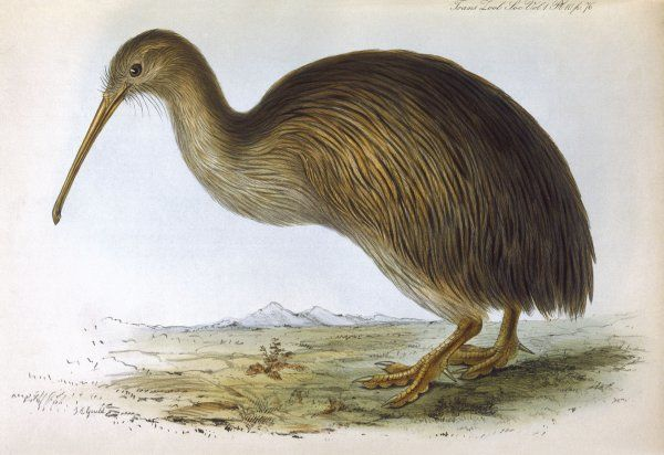 APTERYX AUSTRALIS (Shaw) from the South Island of New Zealand