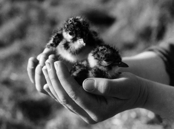 Lapwing chicks. Date: 1930s