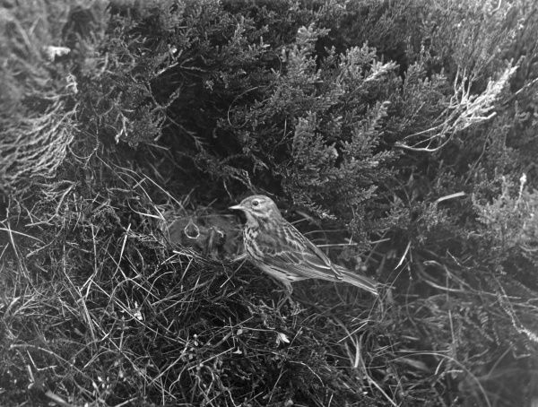 A Meadow Pipit. Date: 1930s
