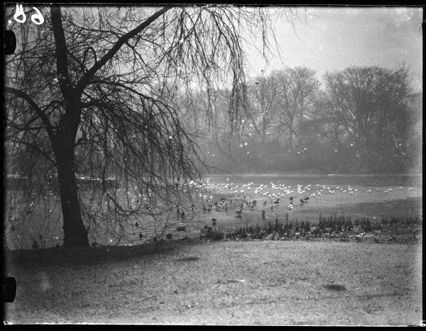 A winter scene, showing a large number of birds in St. James's Park, central London