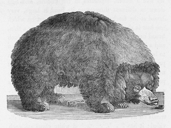 Bewick is puzzled by this creature, drawn from life, which he supposes to be a bear: it was brought back from Bengal, and 'appears to be a gentle, good-natured animal&#39