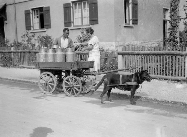 A working dog which pulls a milk cart in the Black Forest, Germany. Date: 1930s