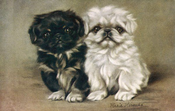 A black and a white pekingese puppy sit close together