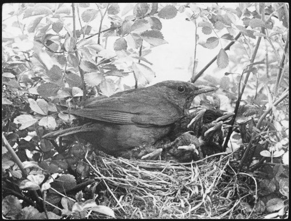 A blackbird sits in her nest with her brood of fledglings