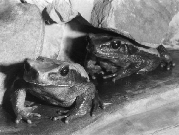 Two Blomberg's toads. Date: 1960s