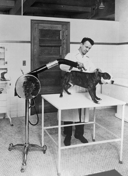 A patient bulldog gets a blow dry after its bath in a pet grooming salon. Date: early 1930s