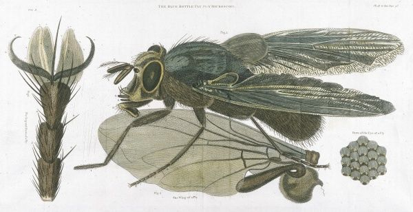 The Bluebottle, or Blow-fly (MUSCA VOMITORIA) as seen through the microscope. Date: 1823