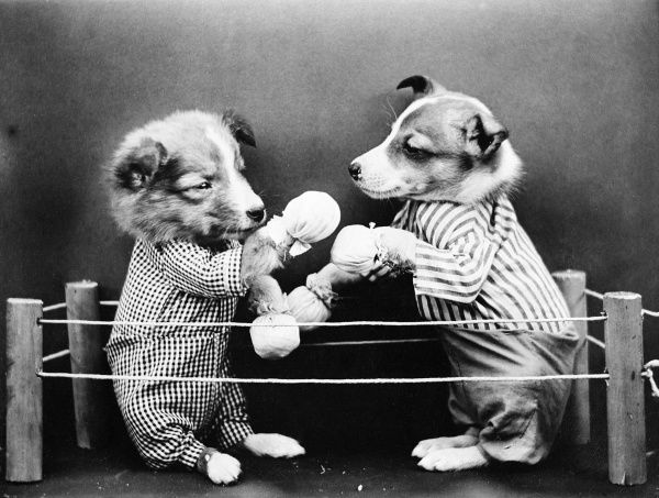 Boxing dogs fight it out in the ring! Date: early 1930s
