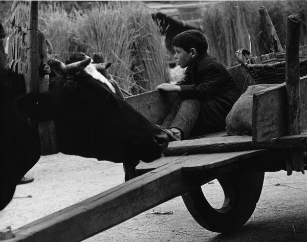 A little boy on a farm, sitting in the back of a cart at harvest time. A yoked ox can be seen on the left, and sheaves of corn in the background