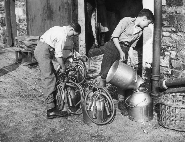 Two schoolboys help out with the milking on a dairy farm, one boy pouring the milk into churns while the other gathers together the udder apparatus