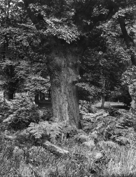 Bracken in Epping Forest, Essex, England. Date: 1930s