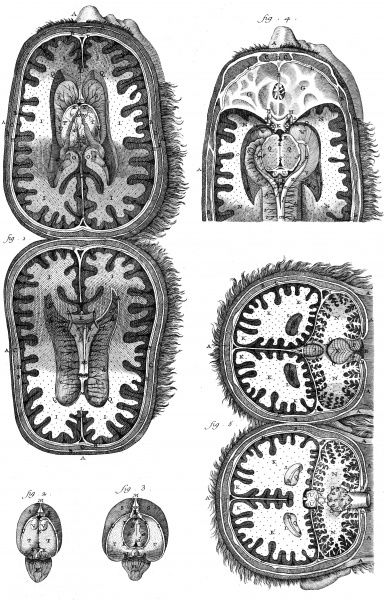 Anatomy of the human body : the cavities of the brain and the cerebellum according to Tarin in Adversaria anatomica. Date: Circa 1760