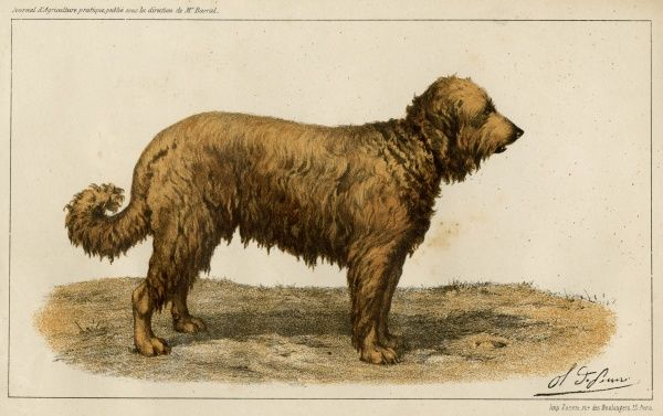 The Brie (Briard) Shepherd Dog, named Charmante, belonging to M Janet, winner of the prix d'honneur at the 1863 Paris dog show. Date: 1863