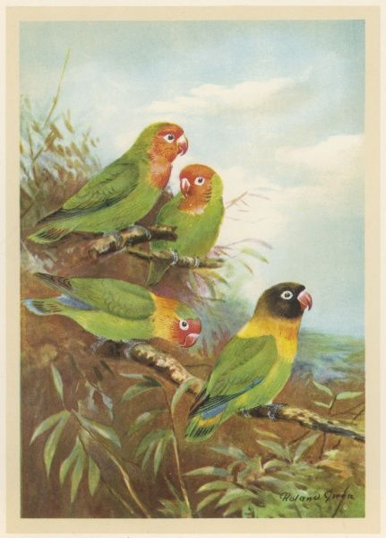 Brightly coloured parrots