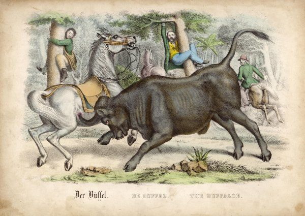A buffalo charges hunters