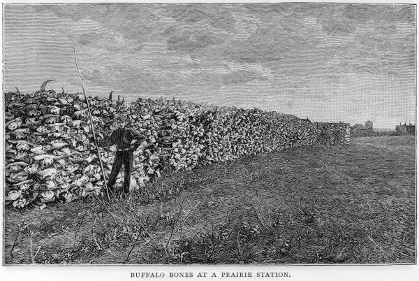 A vast wall of American buffalo or bison bones at a prairie station