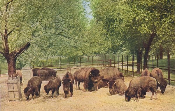 Buffalo herd in Lincoln Park, Chicago : 'these noble animals, which once in countless numbers roamed our western plains, are now extinct except in captivity.' Date: 1916