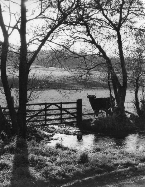 A bull waiting patiently behind a country gate, looking for an opportunity to attack the photographer! Scene after autumn rain, near Crosshill, Ayrshire, Scotland. Date: 1950s