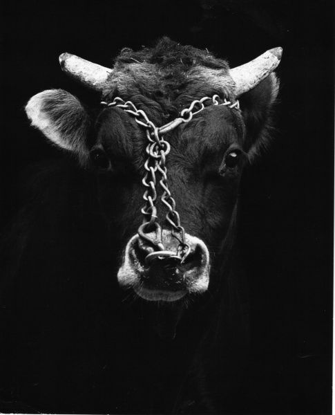 A rather sad looking bull with a ring in its nose and a chain round its head