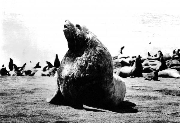 A Sea Lion bull, surrounded by female seals and their pups. Date: 1930s