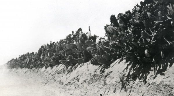 Cactus hedges near Deir el Balah (Dayr al Balah) in Palestine during the First World War. There were many of these, presenting difficult obstacles to attacking troops. Date: circa 1917-1918