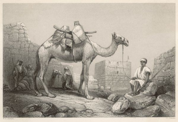 Like ships or trains, the camel can be used to carry passengers or baggage