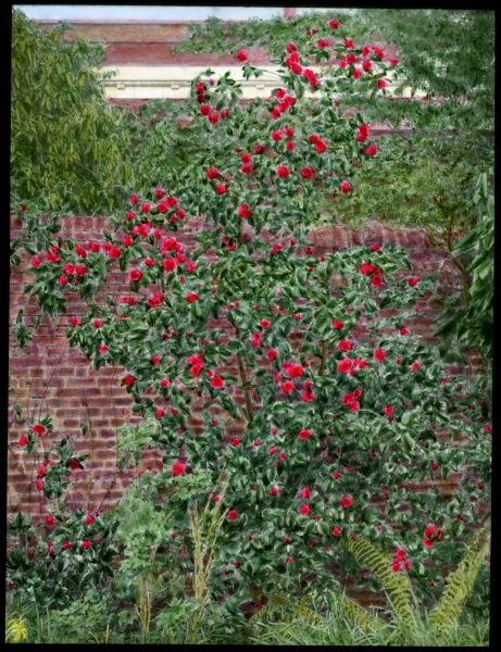 A Camellia (Camellias) bush, a flowering plant of the Theaceae family, with bright red flowers, growing by a garden wall