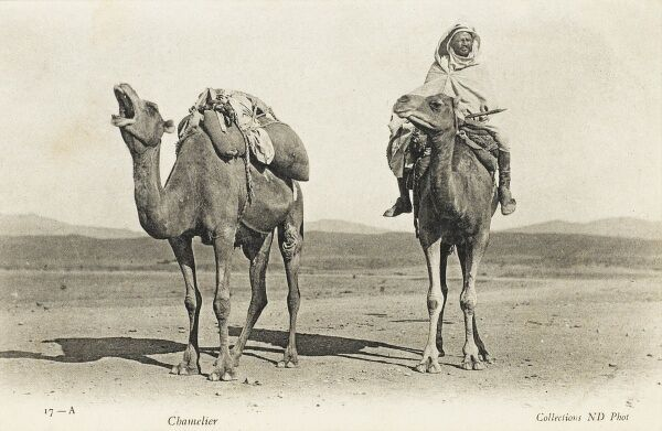 Two Algerian camels share a quality piece of humour, known only to themselves. The rider seems totally unaware of the jest!