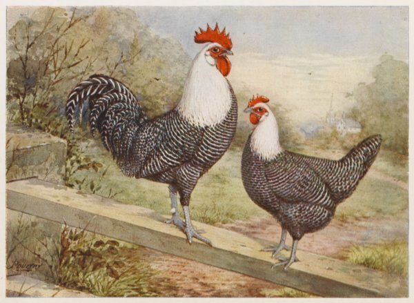 Campine cock and hen