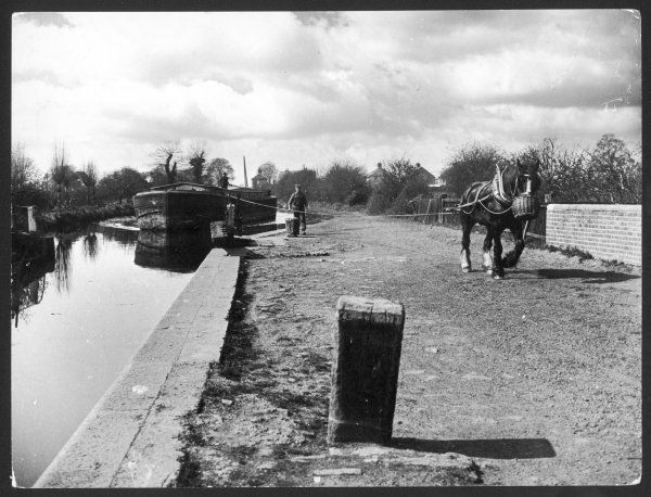 An industrial narrow boat laden with coal is towed by a horse (encouraged with a feeding nosebag) on the tow path (entering a lock), Grand Union Canal, England