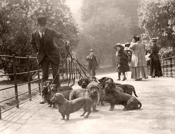 A large number of dachshunds, one of them a rough coated specimen, are taken for a walk in the park. They belong to a Captain Berry of Queen's Gate Terrace, South Kensington, London