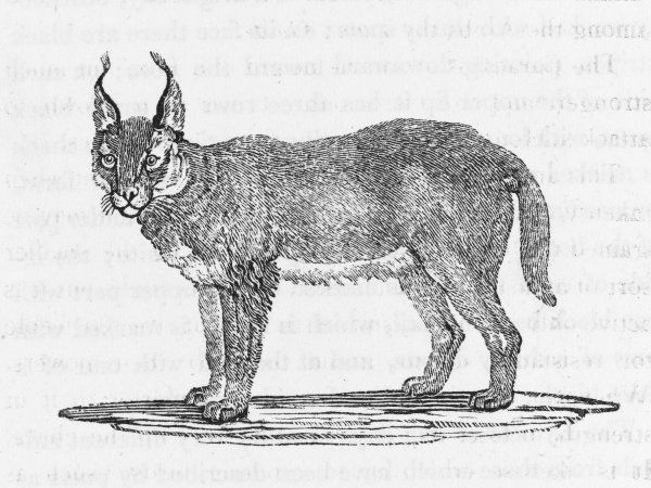 felis caracal Found in Asia and Africa : this may be the creature named the lynx by classical writers