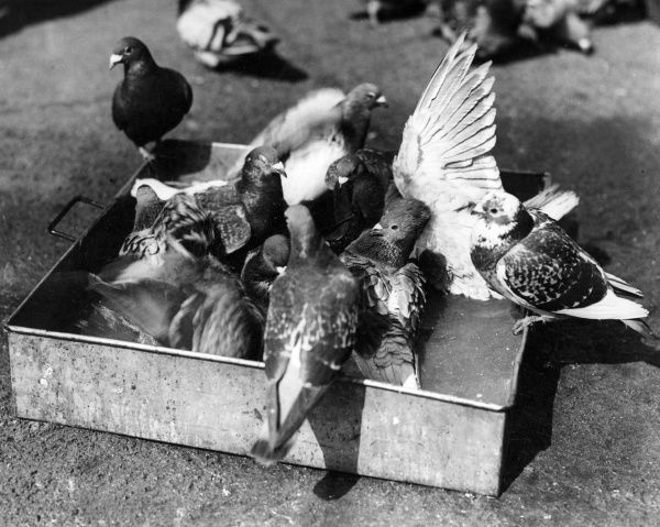 Carrier pigeons enjoying a bath in a baking tin full of water at Sorrus, France, during the First World War. Date: 2 June 1918