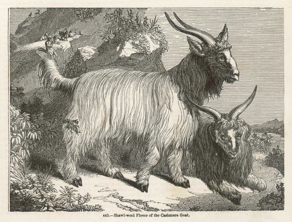 The Cashmere or down goat, from which the luxurious fiber is produced from the soft undercoat of hair