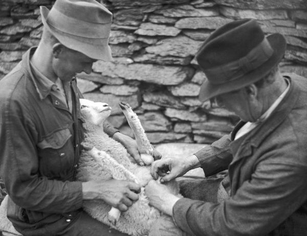 Two men castrating a lamb on a Welsh farm in Caernarvonshire, Wales