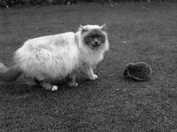 A large fluffy cat encounters a hedgehog on a lawn
