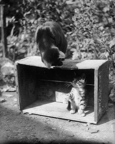 A cat and kitten playing with a box!