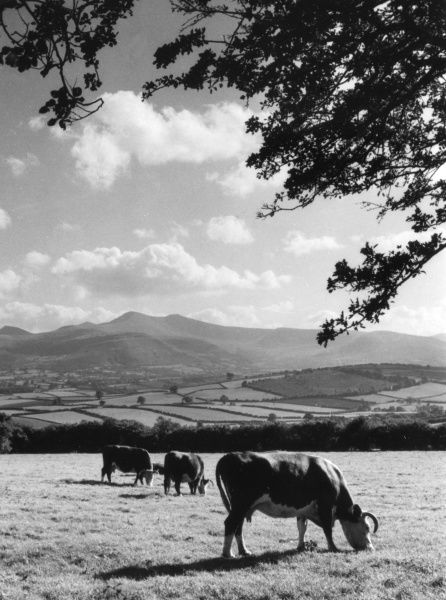 Cattle grazing against the background of the Brecon Beacons, the highest mountains in South Wales. Date: 1960s