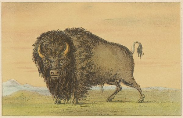 An American buffalo or bison