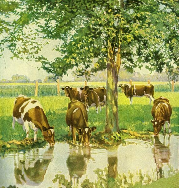 Cattle drinking. Illustrator Anon. From a contemporary colour advertisement. Date: 1924