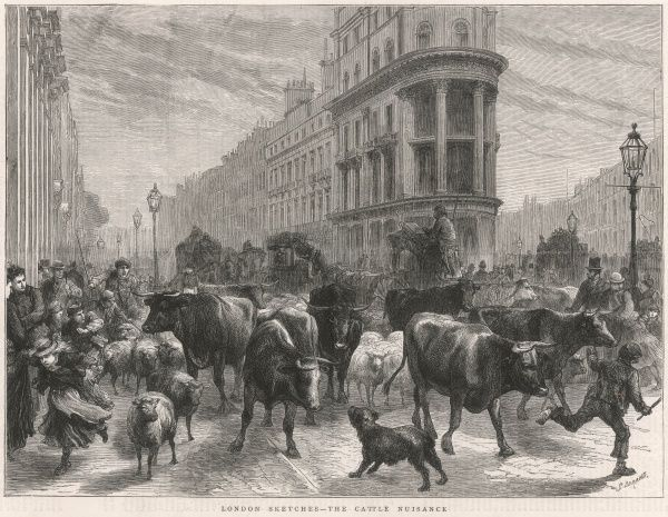 Engraving showing a herd of cattle passing through the streets of the city of London, 1877
