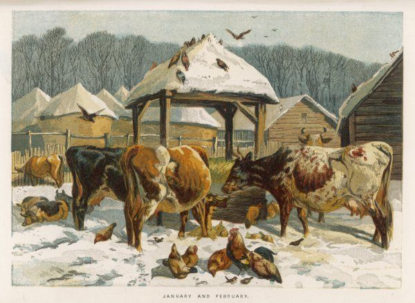 Cattle and chickens in a snowy winter farmyard, to represent the months of January and February