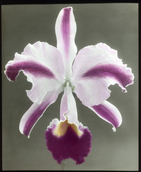 Cattleya Trianae 'Mrs Phillips', also known as Flor de Mayo (May Flower) or Christmas Orchid (Orchidaceae family), with pink, purple and yellow colouring