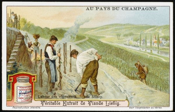 Tending the vines in the vignobles de Sillery. card 1 of 6