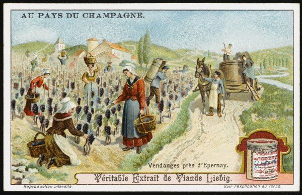 The vendange - picking the grapes near Epernay. card 2 of 6