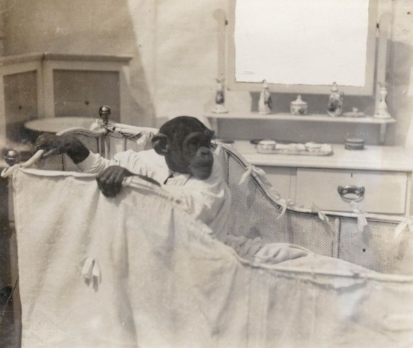 An intelligent chimpanzee named Consul who appeared as part of Bostock's Jungle at the Earl's Court Exhibition. This photograph shows him getting out of bed -- he is wearing a nightgown, and has a dressing table with a mirror and trinkets behind him