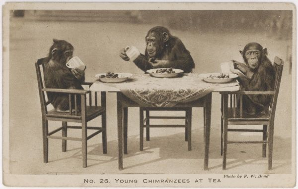 A chimpanzees tea party